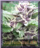 Emerald Triangle Royal Purple Kush Auto Fem 5